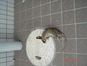 鼠の死骸⑤